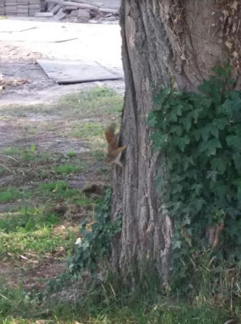 Eekhoorn in Andijk