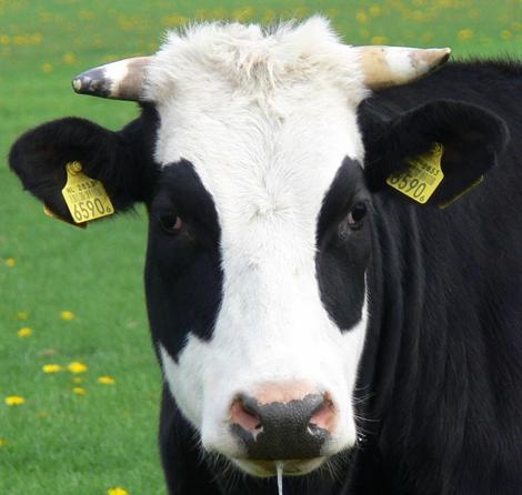 Koeien kijken bij Rundveemuseum Aartswoud