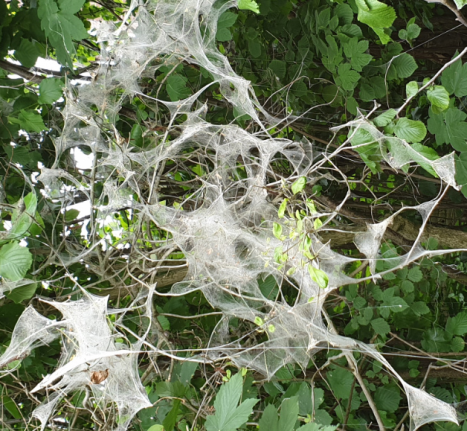En dan dit: Spinselmotten... Medemblik | Andijk - APB Andijk Nieuwsnet