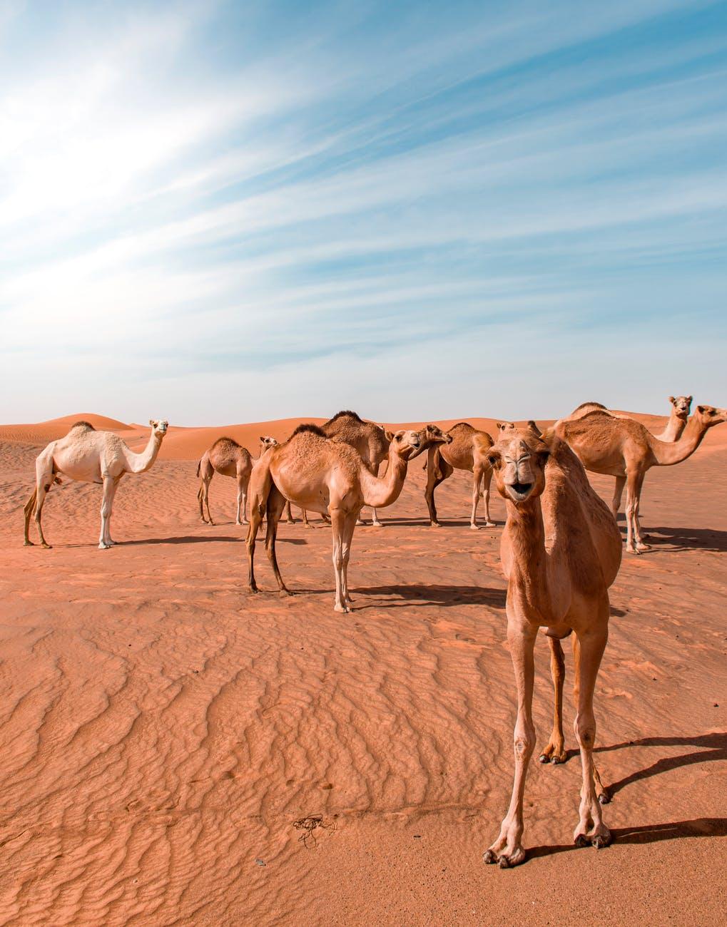 Zijn er al kamelen gesignaleerd in de Polder Het Grootslag | Donderdag ook Code Oranje: heter dan vandaag!
