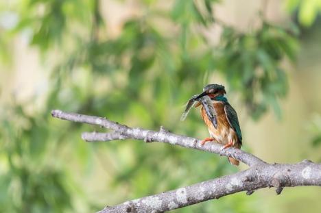 Servan Ott Fotografie: IJsvogel met snoek