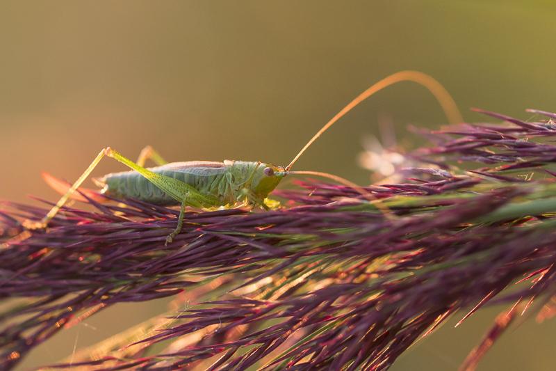 Servan Ott Fotografie: Sabelsprinkhaan op paarse riethalm