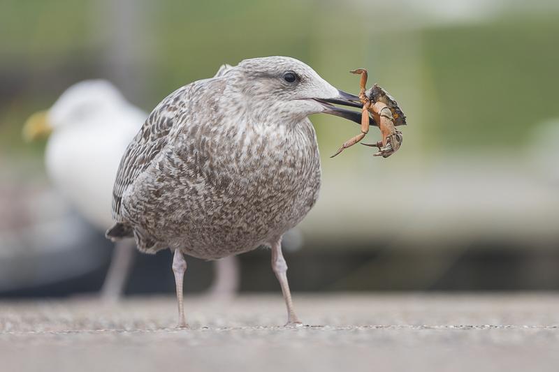 Servan Ott Fotografie: Zilvermeeuw met krab
