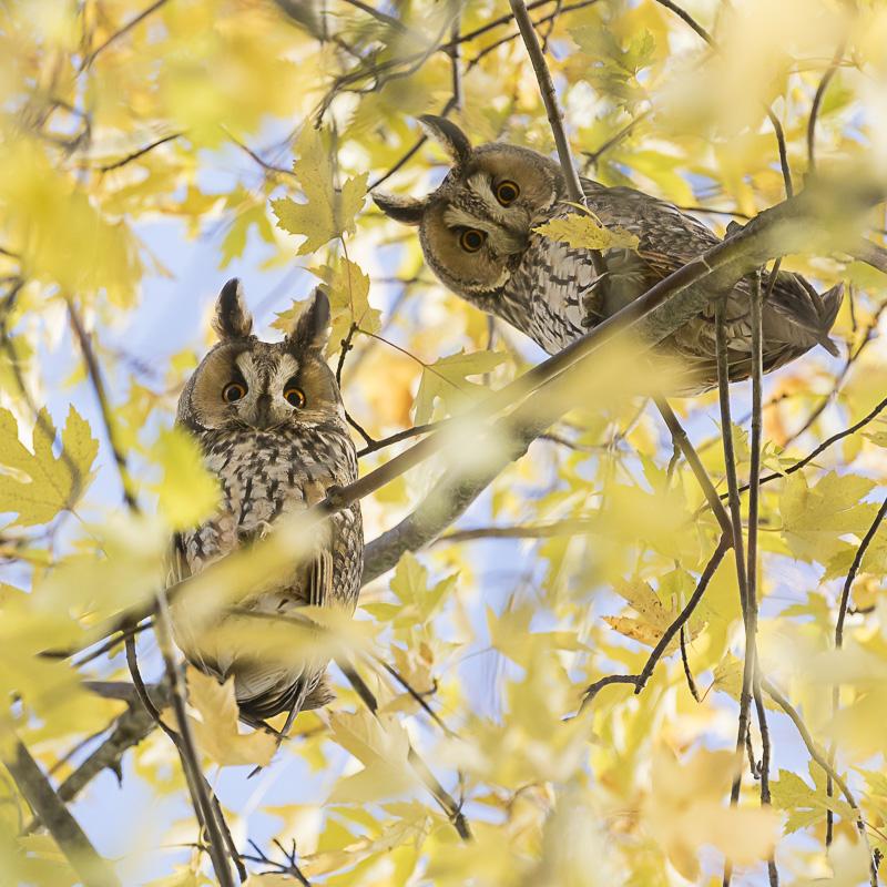 Servan Ott Fotografie: Ransuilen in suikeresdoorns