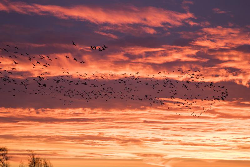 Servan Ott Fotografie: Overtrekkende ganzen bij het ochtendrood, Markermeer