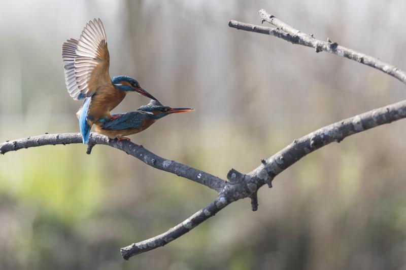 Servan Ott Fotografie: IJsvogels - visoverdracht en paring