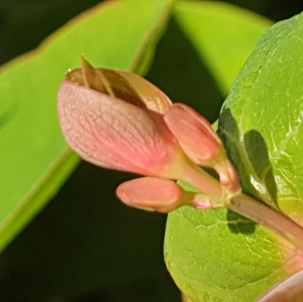 Blad hersthooi - De schijnaardbei en andere voorjaarsbloemen: Robertskruid, Hertshooi, Paardenbloem, Tulp, Gewone Speenkruid, Robertskruid - © CAPAND