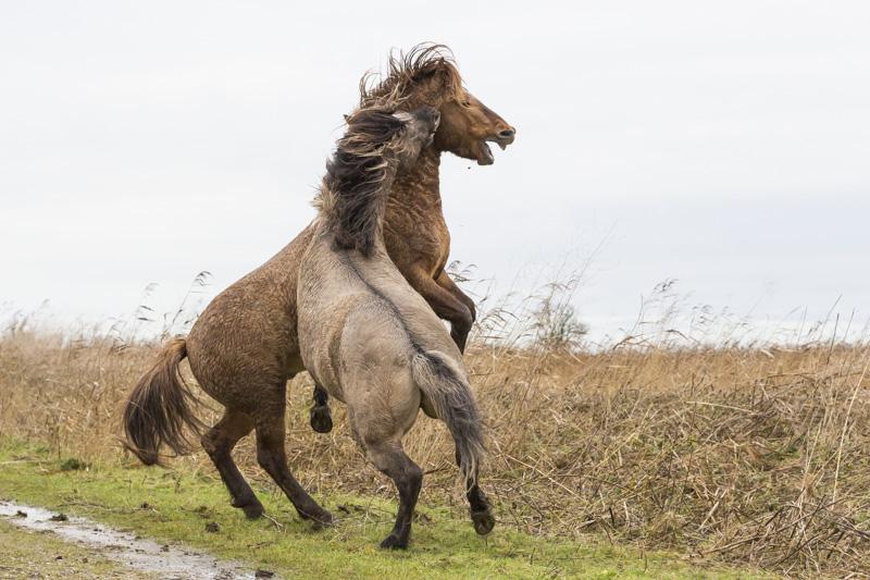 Servan Ott Fotografie: Konikpaarden knokkend in de regen