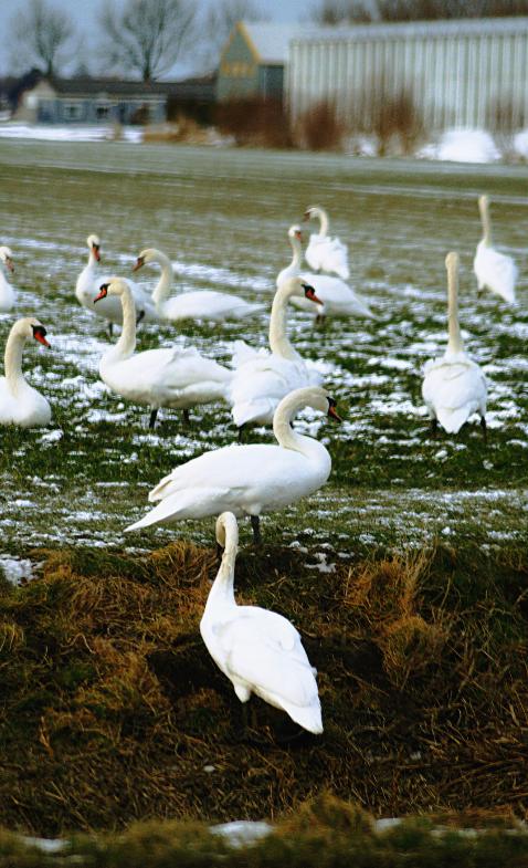 Zwaan kleef aan... Ruim 100 zwanen verzamelde zich vanmiddag op een stuk grasveld langs de Veenakkers in Wervershoof. De zwanen kwamen vanuit de dichtgevroren poldersloten. Foto's © CAPAND