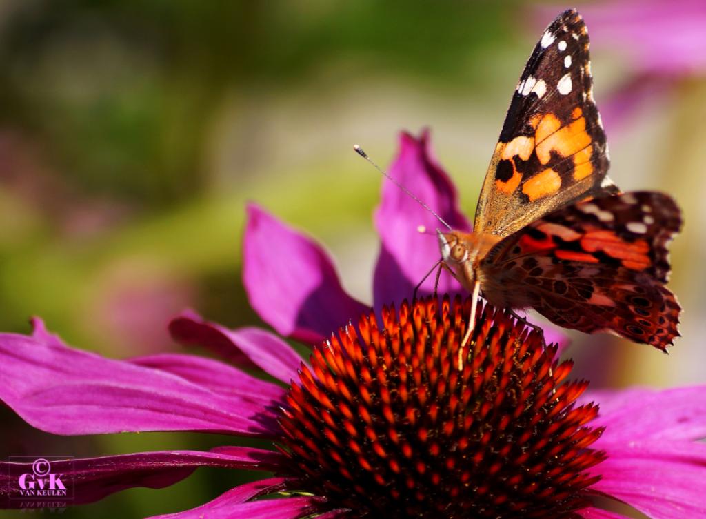 Bij jou in de tuin - Deel 6 Distelvlinder en een Rode Zonnehoed